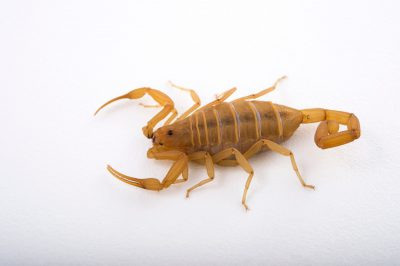 Arizona bark scorpion images - Joel Sartore