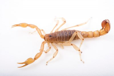 Picture of an Arizona stripe-tailed scorpion (Vaejovis spinigerus) at the St. Louis Zoo.