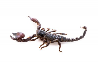 Picture of a Red-clawed scorpion (Pandinus cavimanus) at the Saint Louis Zoo.