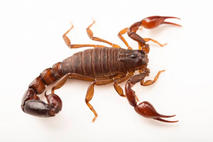 Photo: Chilean Brown Pygmy Scorpion (Bothriurus keyserlingi) at the Loveland Living Planet Aquarium in Draper, UT.