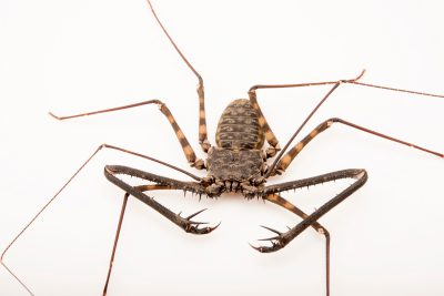 Photo: Tanzanian tail-less whipscorpion (Damon diadema) at the Bugarium at the Albuquerque BioPark.