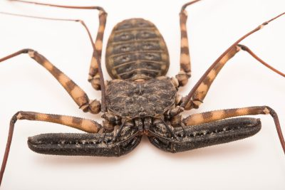 Photo: Amazonian tail-less whipscorpion (Heterophrynus batesii) at the Bugarium at the Albuquerque BioPark.