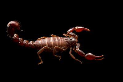 A Chilean scorpion (Caraboctonus keyserlingi) at the University of Porto in Portugal