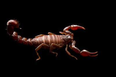 Photo: A scorpion (Caraboctonus keyserlingi) at the University of Porto in Portugal