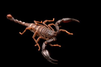 A scorpion (Lurus duforeius) at the University of Porto in Portugal