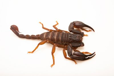 Photo: A scorpion (Iurus duforeius) at the University of Porto in Portugal