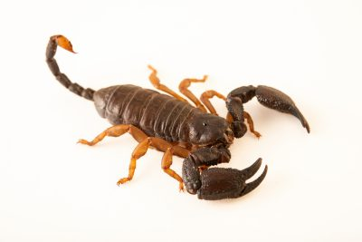 Photo: Rock-creeping scorpion (Opisthacanthus asper) at the University of Porto in Portugal
