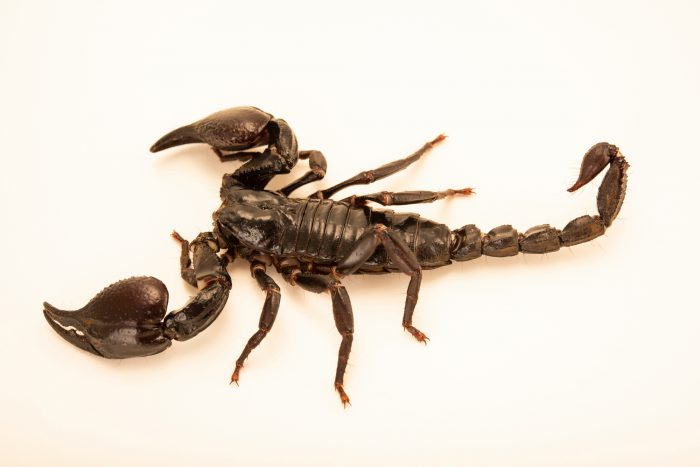 Photo: An Asian giant forest scorpion (Heterometrus laoticus) at Museum of Nature South Tyrol.