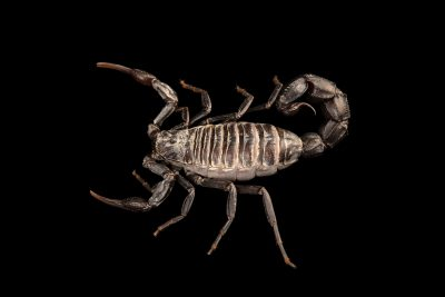 Photo: Arabian fat tailed scorpion (Androctonus crassicauda) at the Moscow Zoo.