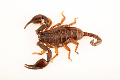 Photo: A European scorpion (Euscorpius sp.) at Aquarium Berlin.