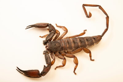 Photo: A flat rock scorpion (Hadogenes granulatus) at the St. Louis Zoo.