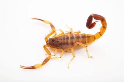 Photo: An Argentinean scorpion (Tityus trivittatus) at Plzen Zoo in the Czech Republic.