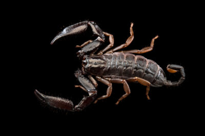 Photo: A unidentified scorpion (Iomachus sp.) at Plzen Zoo in the Czech Republic.