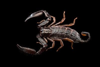 Photo: A unidentified scorpion (Iomachus sp.) at Plzen Zoo in the Czech Republic.