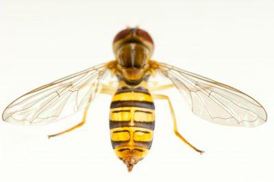 A hoverfly from near Adams, NE.