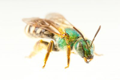 A metallic green bee (Agapostemon virescens), which along with other bee species is a locally important pollinator of field crops.