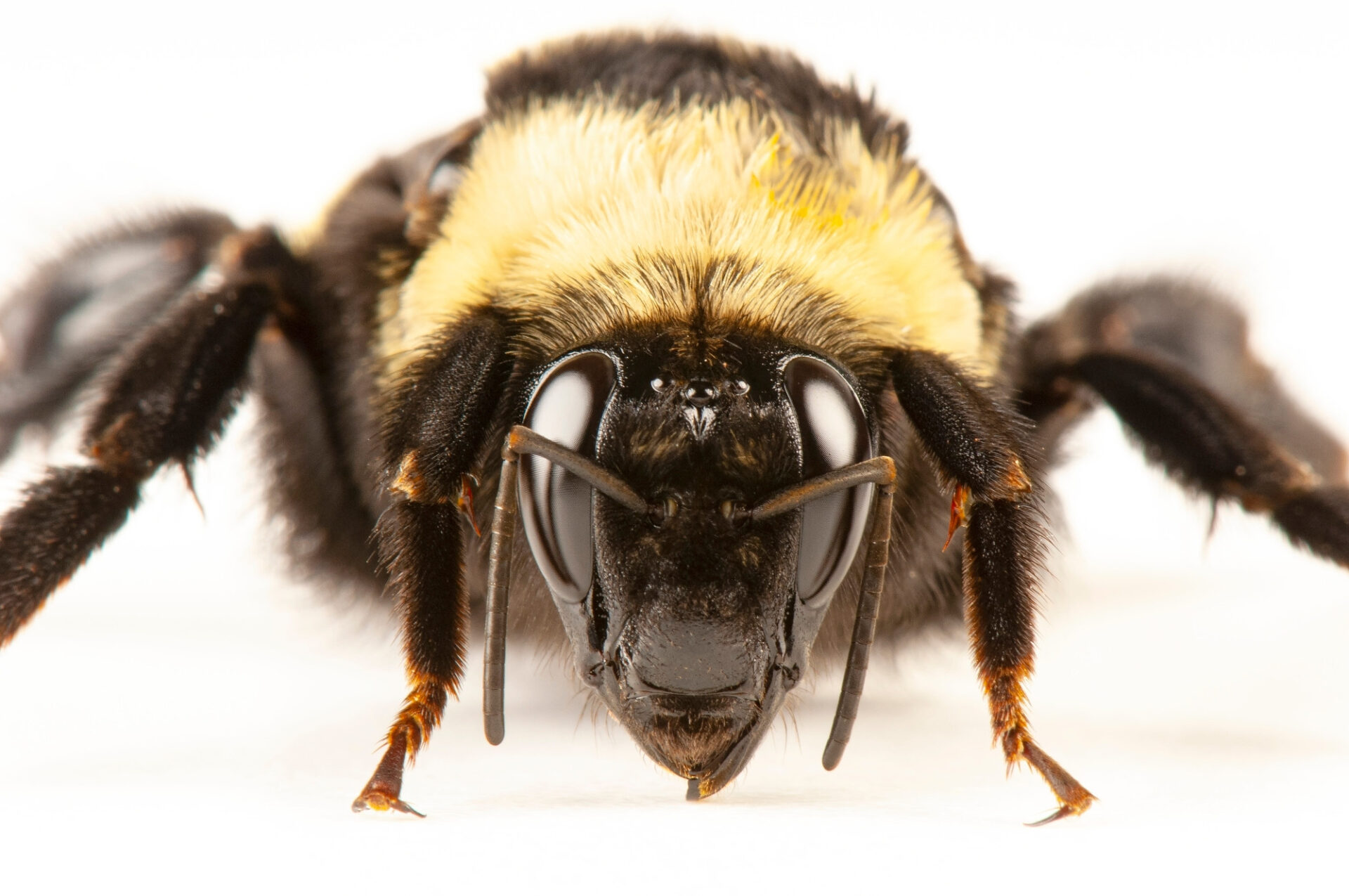 "Black and gold bumblebee (Bombus auricomus). This is a female, and is one of the most ""primitive"" New World bumble bees."
