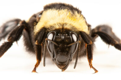 """Black and gold bumblebee (Bombus auricomus). This is a female, and is one of the most """"primitive"""" New World bumble bees."""