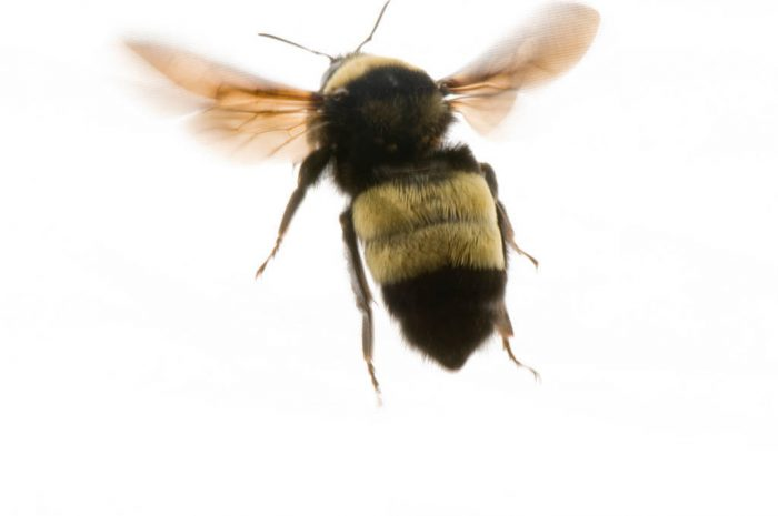 Picture of a Black and gold bumblebee (Bombus auricomus).