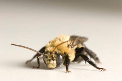 Picture of a male bee (Bombus griseocollis).