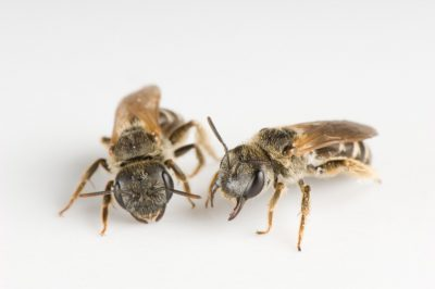 Photo: Female Halictus ligatus.