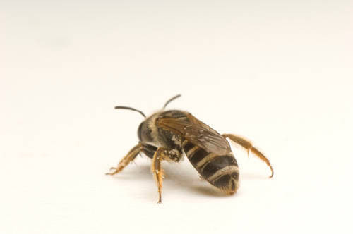 Halictus ligatus. These are females. They are important pollinators due to their wide distribution and great abundance.