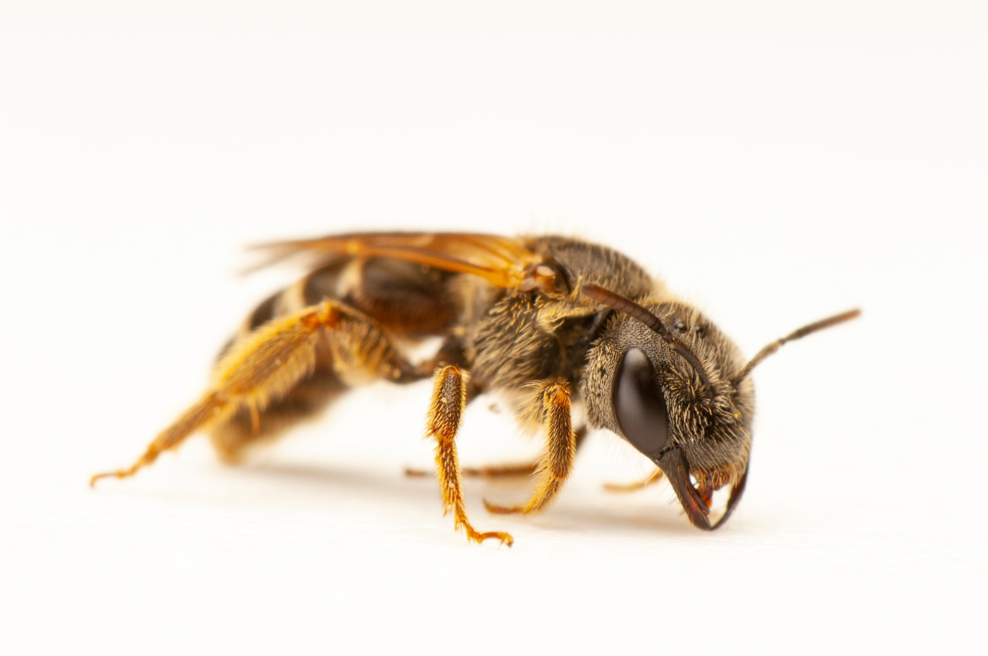A long-horned bee (Halictus ligatus) photographed at a studio in Lincoln, NE.