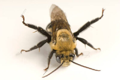Picture of a digger bee (Emphoropsis sp.).