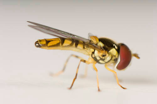 A flower fly, or Syrphid (Toxomerus sp.) photographed at a studio in Lincoln, NE.