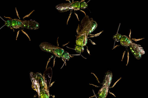 A group of metallic green bees (Agapostemon virescens) photographed at a studio in Lincoln, NE.