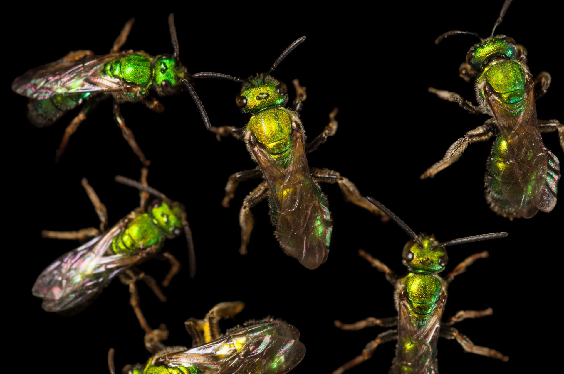 A group of Augochlorine green sweat bees (Augochlorirni) photographed at a studio in Lincoln, NE.
