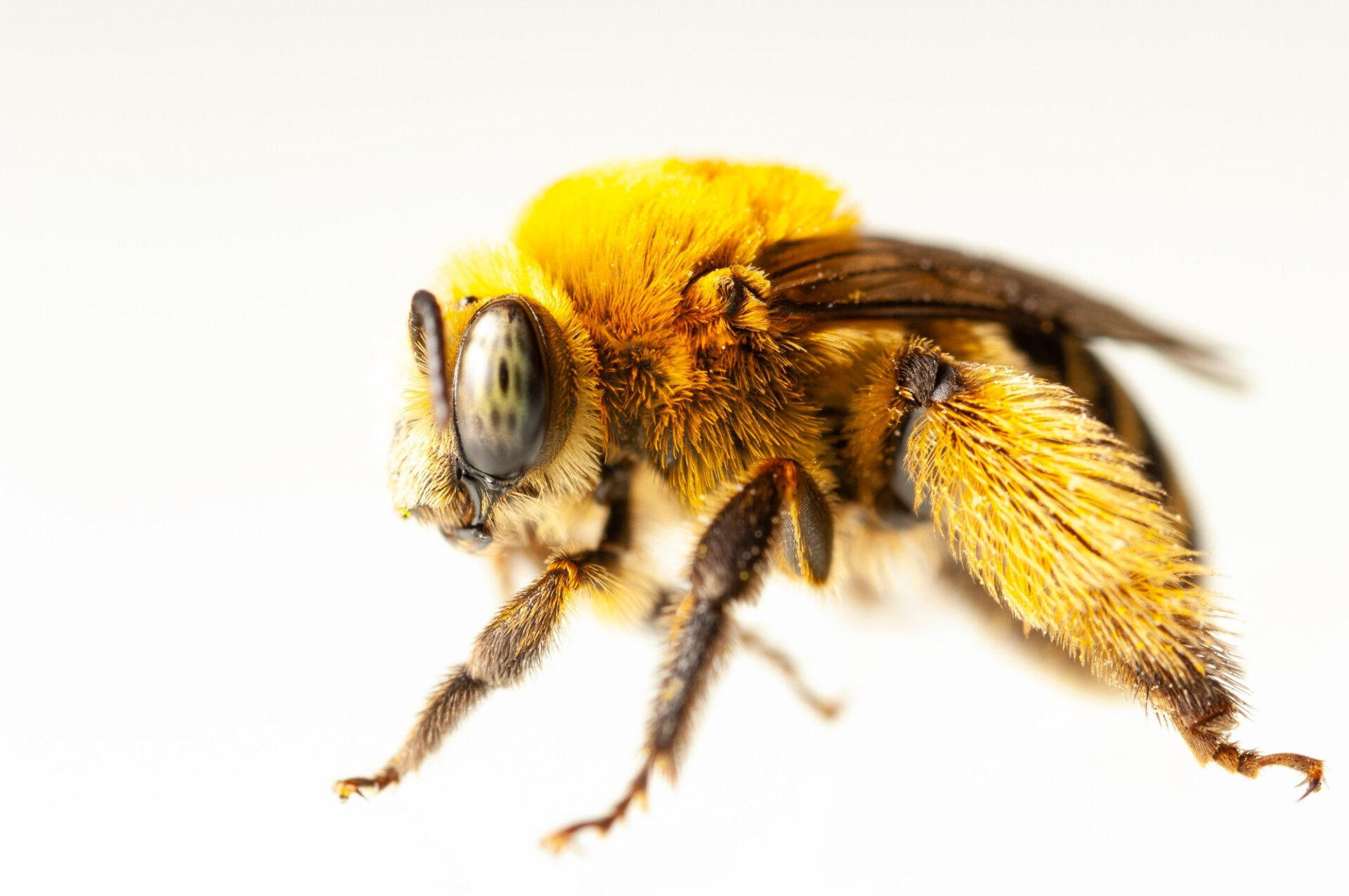 Photo: A long-horned bee photographed at a studio in Lincoln, NE.