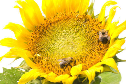 Male bees (Bombus sp.) swarm around sunflowers at Branched Oak Lake.