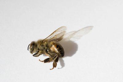 A deceased western honey bee (Apis mellifera).