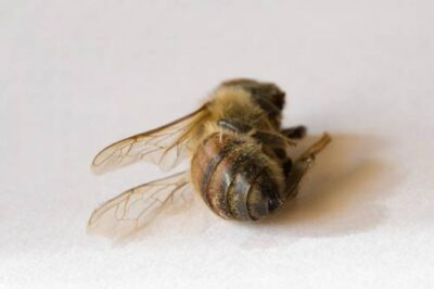 A deceased western honey bee (Apis mellifera).