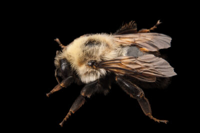 Picture of a common eastern bumblebee (Bombus impatiens) at the Insectarium in New Orleans.