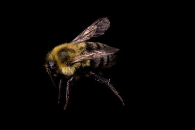 Picture of a common eastern bumblebee (Bombus impatiens) at the St. Louis Zoo.