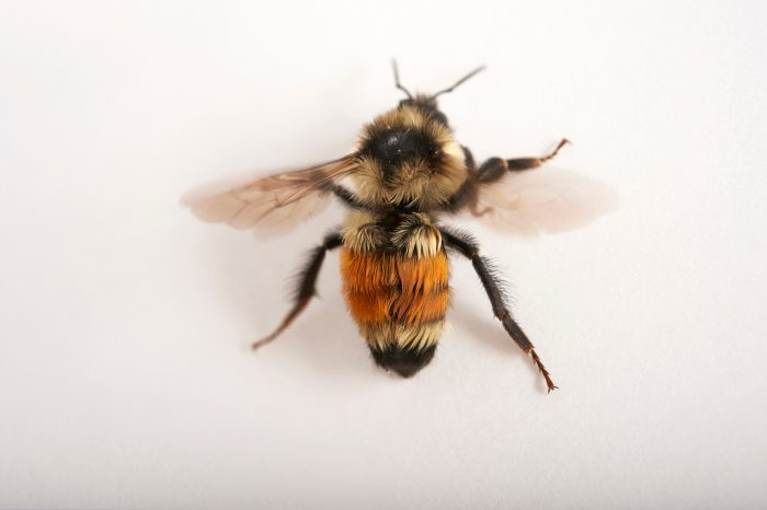 Picture of an orange-belted or tricoloured bumblebee (Bombus ternarius) at Crosslake, MN.