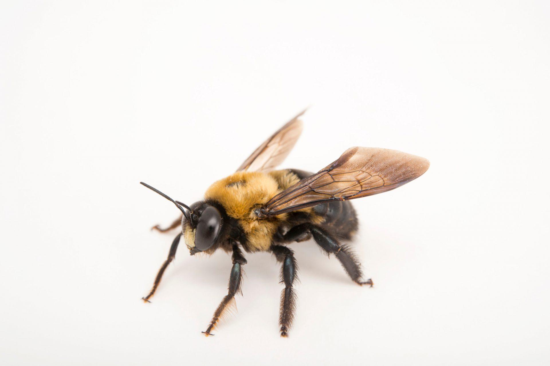 Carpenter bee (Xylocopa virginica virginica) at the St. Louis Zoo.