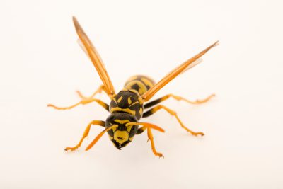 Photo: An adult female worker European paper wasp (Polistes dominula) at Cedar Point Biological Station.