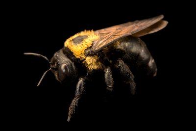 Photo: Eastern carpenter bee (Xylocopa virginica) at the Audubon Insectarium.