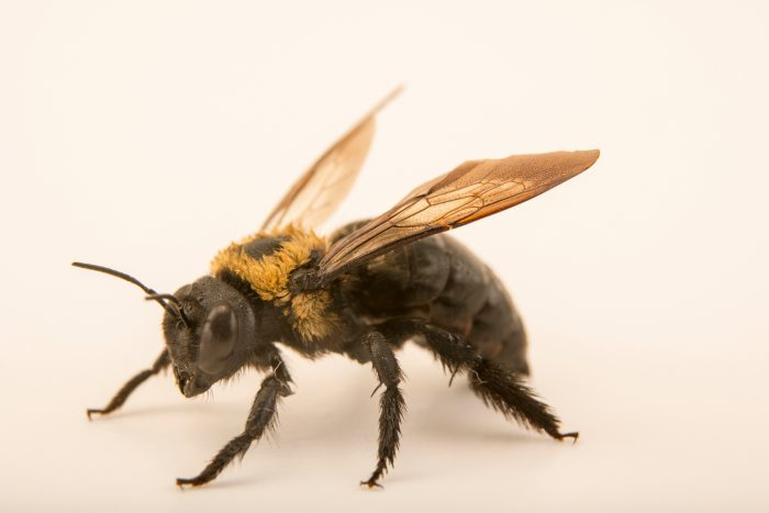 Photo: Eastern carpenter bee (Xylocopa virginica) at the Audubon Insectarium.