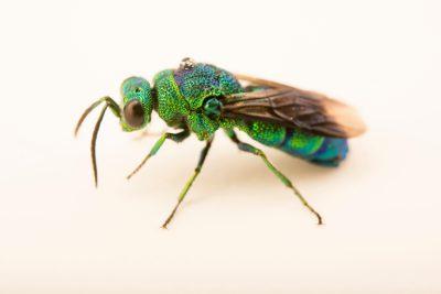 Photo: Cuckoo wasp (Chrysis sp.) at the Audubon Insectarium.