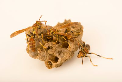 Photo: Paper wasp (Mischocyttarus mexicanus) at the Audubon Insectarium.