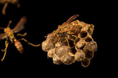 Photo: Paper wasp (Mischocyttarus mexicanus) at the Audubon Insectarium.
