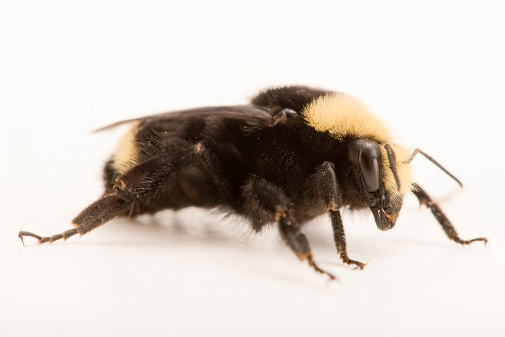 A yellow-faced bumblebee (Bombus vosnesenskii) at A Rocha Brooksdale Environmental Center in Surrey, BC.