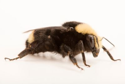 A yellow-faced bumblebee (Bombus vosnesenskii) at A Rocha Brooksdale Environmental Center in Surrey, BC.