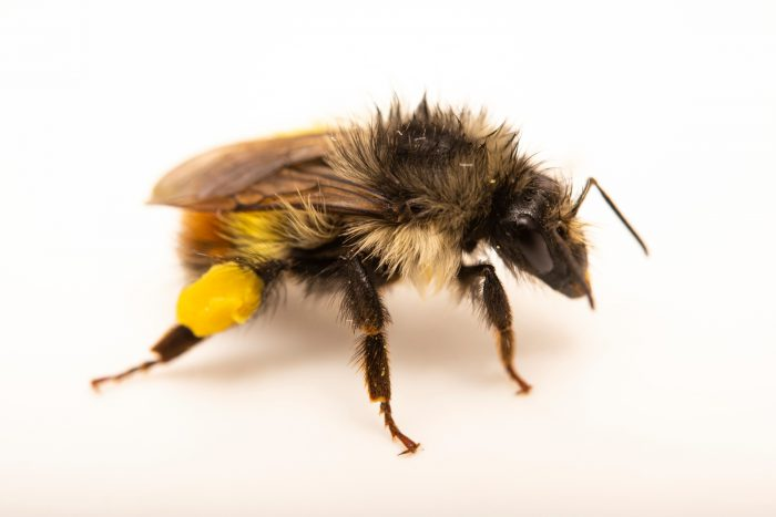 A yellow-fronted bumble bee (Bombus flavifrons) at A Rocha Brooksdale Environmental Center in Surrey, BC.