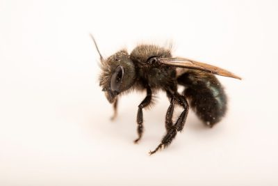 Photo: An orchard mason bee, Osmia lignaria, at A Rocha Brooksdale Environmental Center in Surrey, BC.