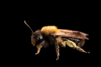 Photo: A bee in the Andrenidae family at A Rocha Brooksdale Environmental Center in Surrey, BC.